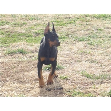 View full profile for King Of Dobermans
