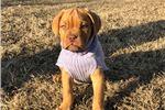Dogue De Bordeaux for sale