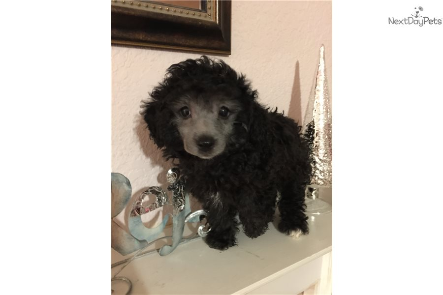 Toy Poodle Puppies Dallas Fort Worth – Wow Blog