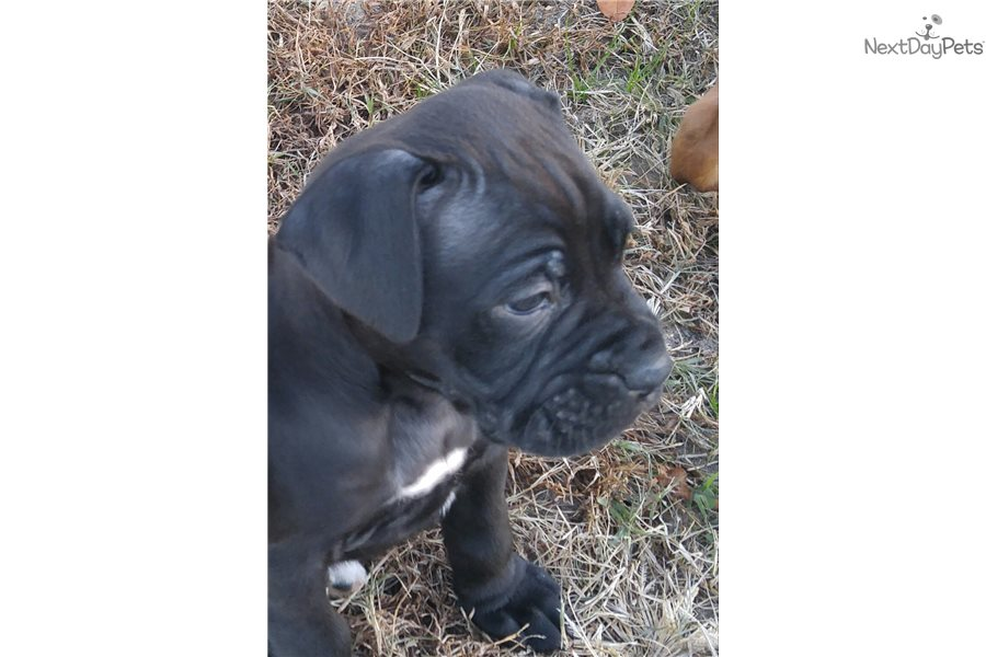 Hershey: Boxer puppy for sale near Raleigh / Durham / CH
