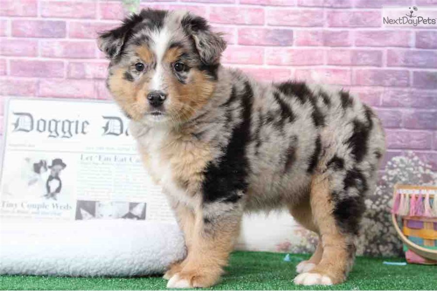 Pebbles Australian Shepherd Puppy For Sale Near Baltimore