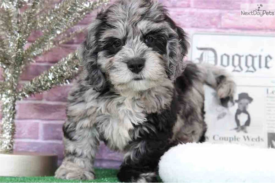 Monte Bernedoodle Puppy For Sale Near Baltimore Maryland