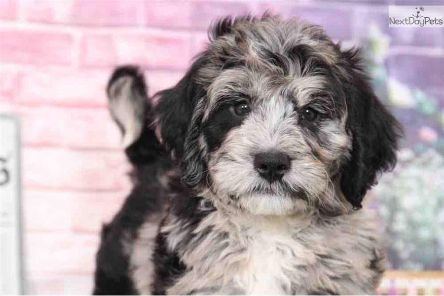 Graham Bernedoodle Puppy For Sale Near Baltimore Maryland
