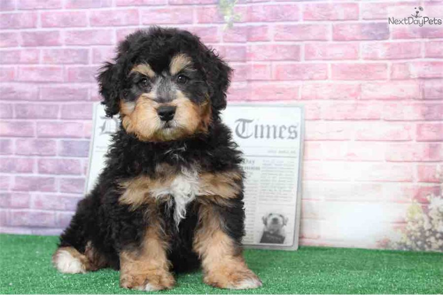 Shaggy Bernedoodle Puppy For Sale Near Baltimore