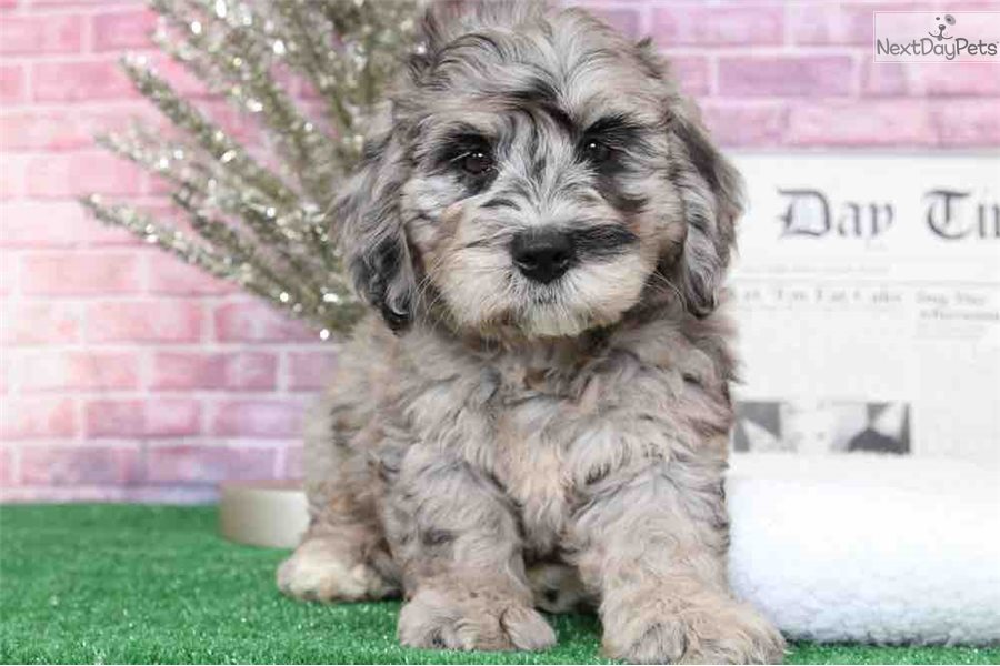 Lulu Bernedoodle Puppy For Sale Near Baltimore Maryland
