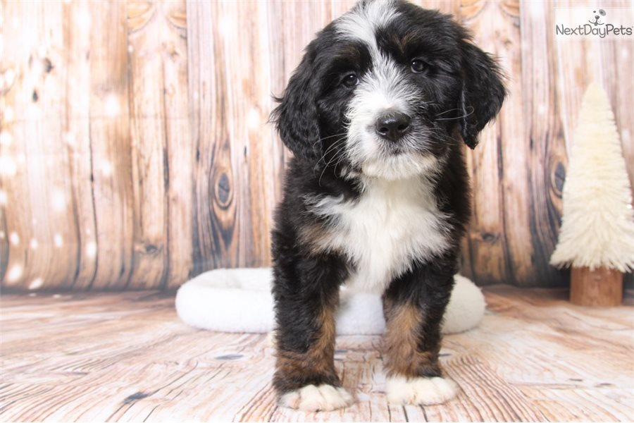 Clyde Bernese Mountain Dog Puppy For Sale Near Baltimore