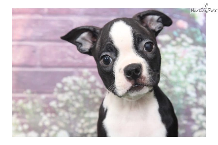 Allie: Boston Terrier puppy for sale near Baltimore, Maryland