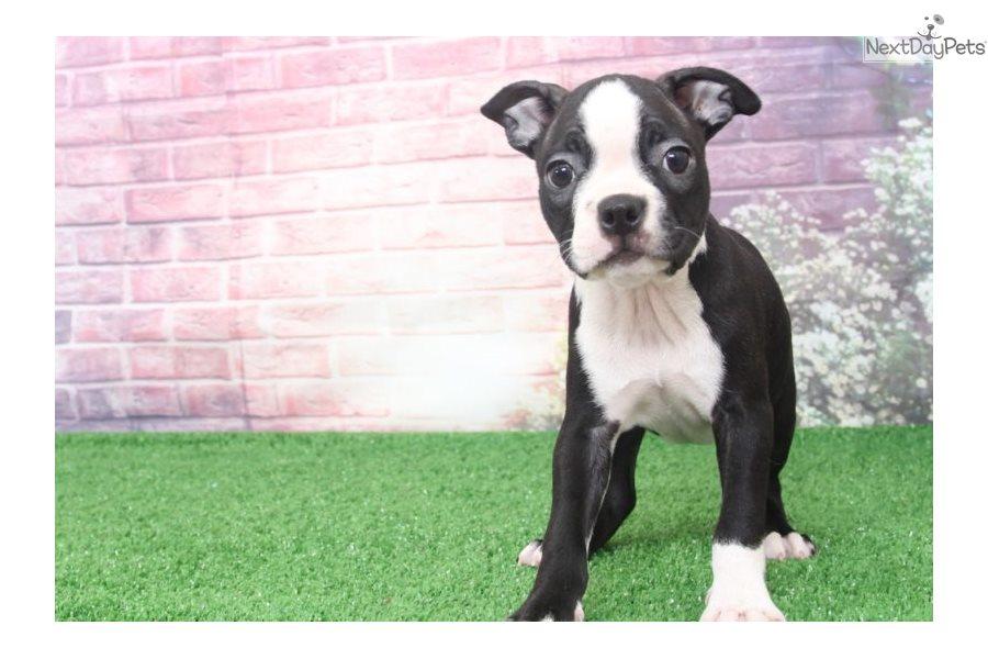 Allie: Boston Terrier puppy for sale near Baltimore