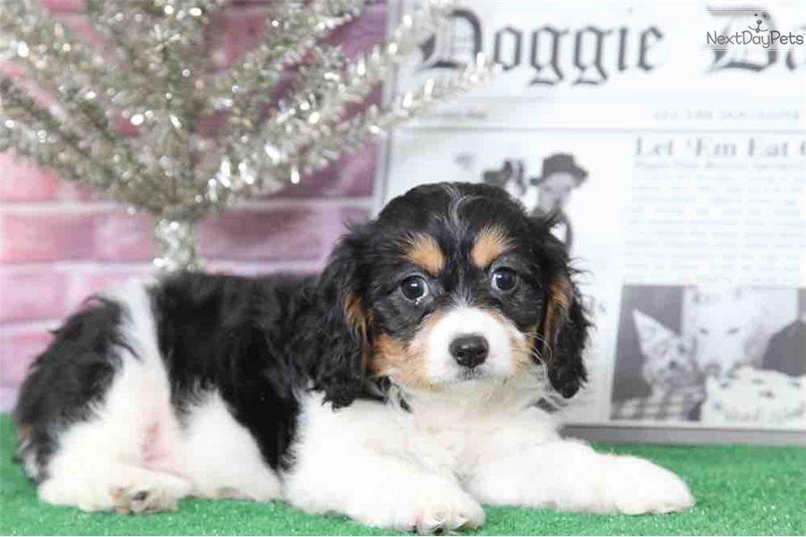 Bear : Cavachon puppy for sale near Baltimore, Maryland