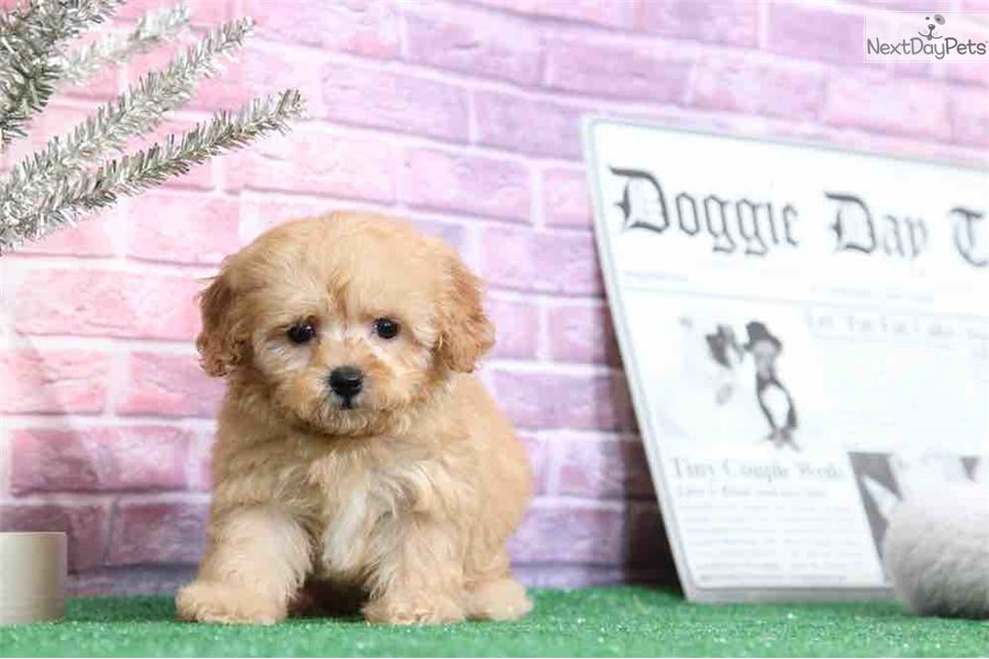 Olivia: Cavapoo puppy for sale near Baltimore, Maryland