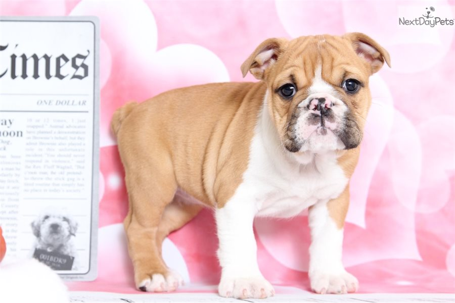 Roxie English Bulldog Puppy For Sale Near Baltimore Maryland