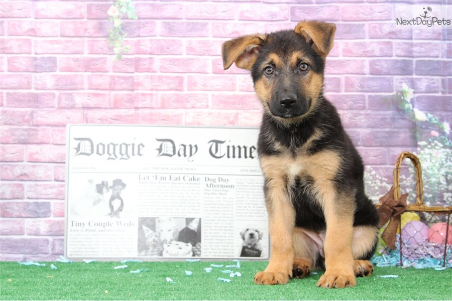 Sparky German Shepherd Puppy For Sale Near Baltimore Maryland