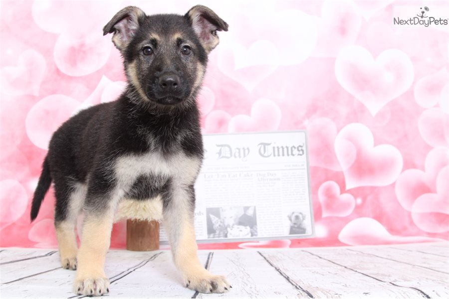 Cassie German Shepherd Puppy For Sale Near Baltimore Maryland