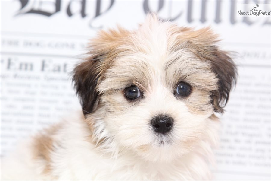 Marley: Havanese puppy for sale near Baltimore, Maryland