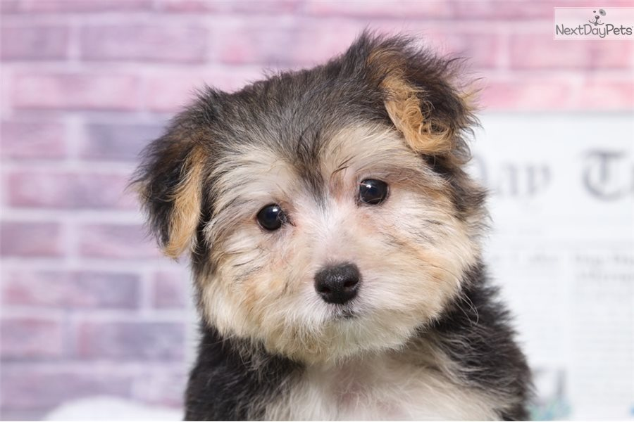 Spot: Morkie / Yorktese puppy for sale near Baltimore Maryland USA