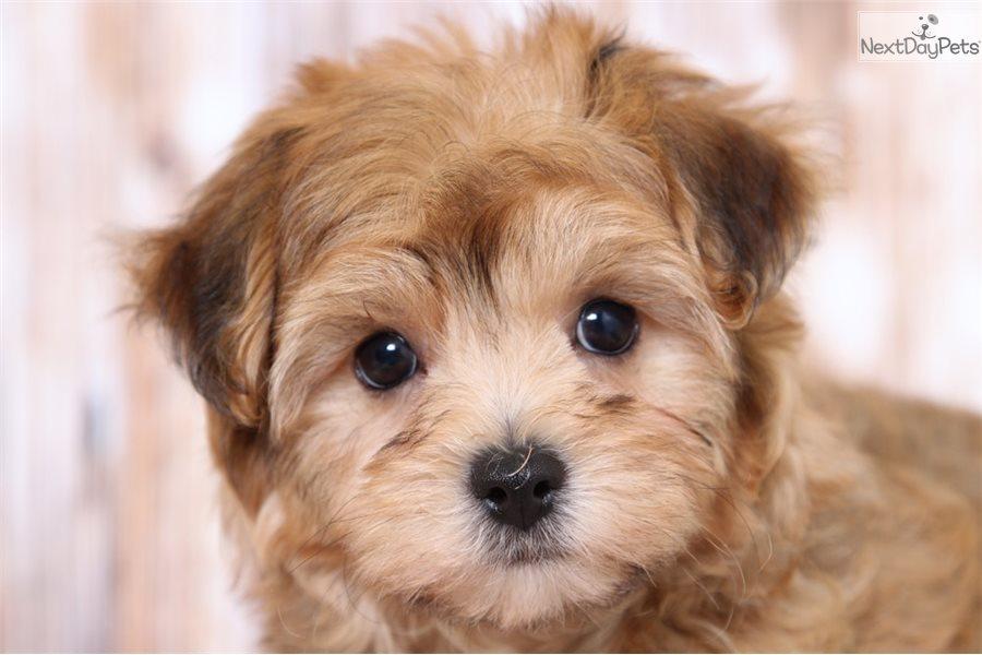 Buy Morkie Puppies In Newfoundland And Labrador Canada