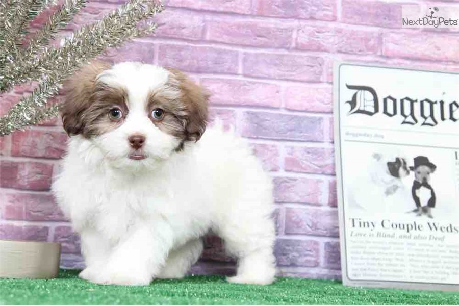 Louie: Shichon puppy for sale near Baltimore, Maryland
