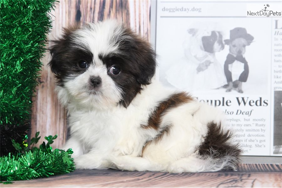 shih tzu breeders in md chance shih tzu puppy for sale near baltimore maryland 7748