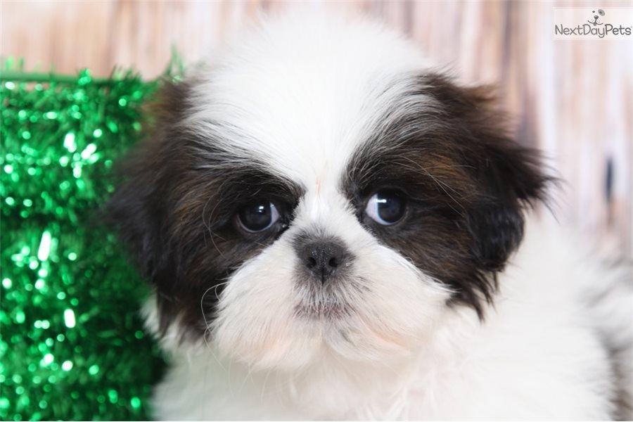 Charlie Shih Tzu Puppy For Sale Near Baltimore Maryland 7c1cbf17