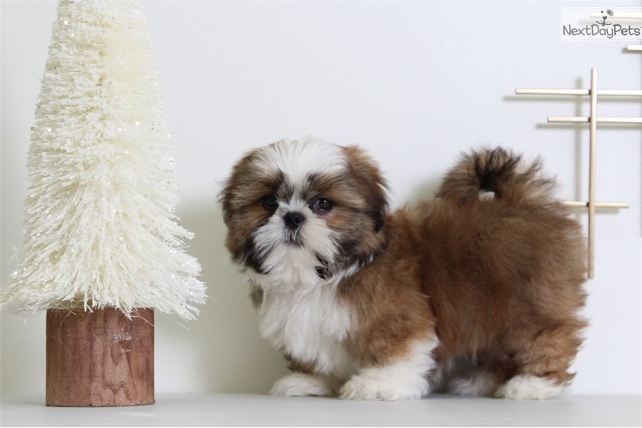 shih tzu breeders in md joey shih tzu puppy for sale near baltimore maryland 931