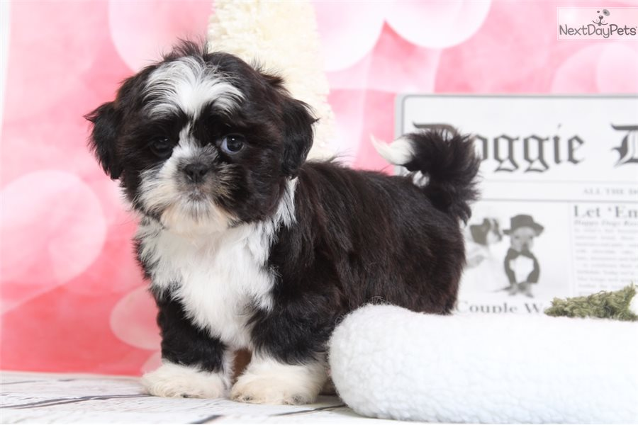 Oreo Shih Tzu Puppy For Sale Near Baltimore Maryland 04d2f412 1411