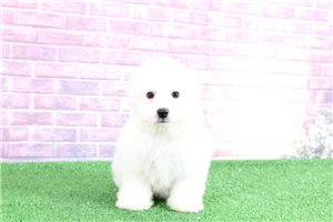 Aspen | Puppy at 13 weeks of age for sale