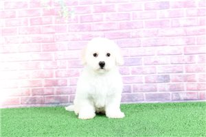 Lace | Puppy at 13 weeks of age for sale