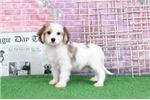 Picture of Shiloh - Spunky Little Male Cavachon Puppy