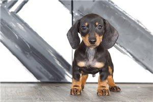 Mini Dachshunds for sale