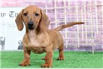 Picture of Louie – Red Very Loyal Male Dachshund Puppy