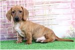 Picture of Moose – Red Perfect Male Dachshund Puppy