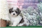 Picture of Tristan- Male Hava-Poo Puppy