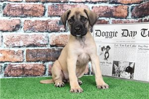Mastiffs for sale