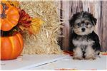 Picture of Mac - Male Morkie Puppy