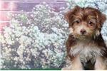 Picture of Fiona - Female Yo-Chon Puppy