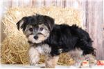 Picture of Otis - Male Morkie Puppy