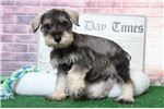Lilly- Female Miniature Schnauzer  | Puppy at 10 weeks of age for sale
