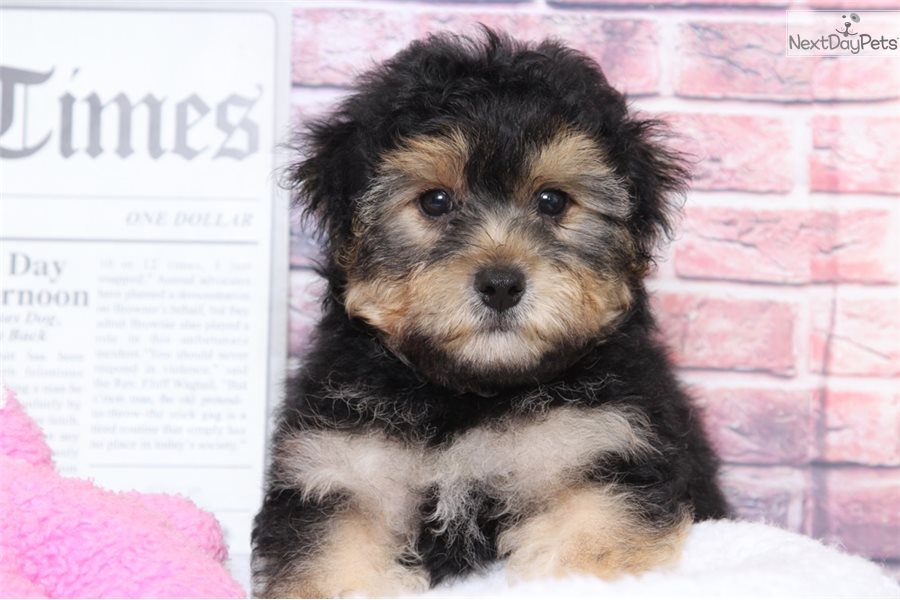 Yorkie Dogs For Sale In Baltimore