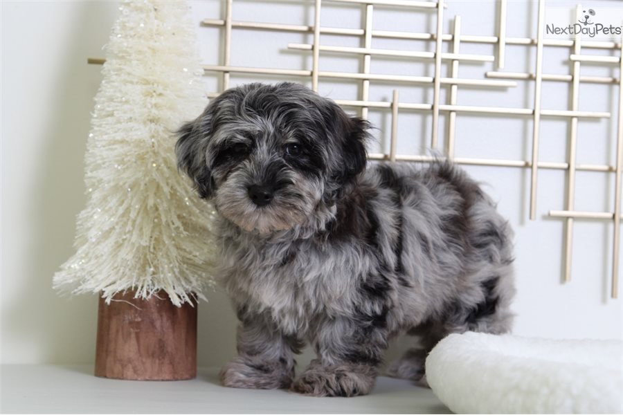 Toby Yorkiepoo Yorkie Poo Puppy For Sale Near Baltimore Maryland