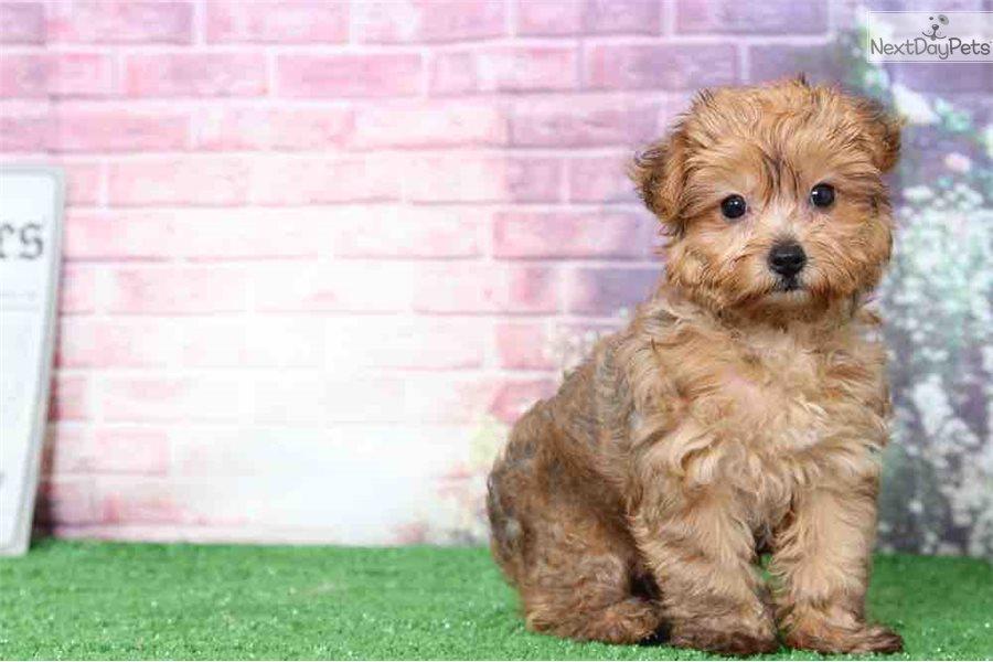Star: Yorkiepoo - Yorkie Poo puppy for sale near Baltimore ...
