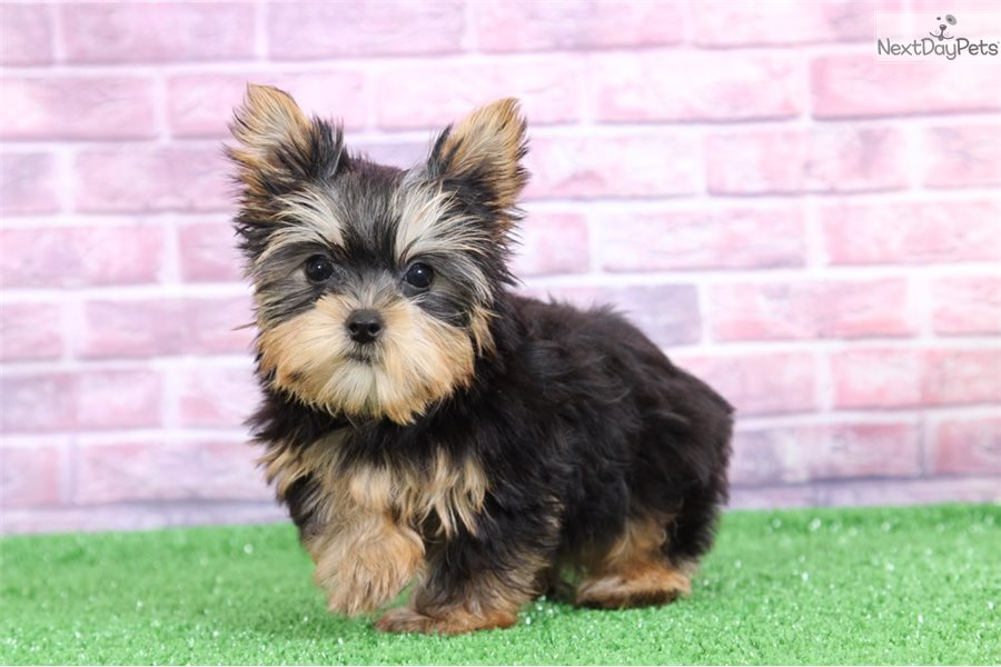 Sadie Yorkshire Terrier Yorkie Puppy For Sale Near Baltimore