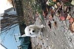 Picture of Beautiful Great Pyrenees Pups