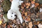 Picture of One spunky Great Pyrenees female