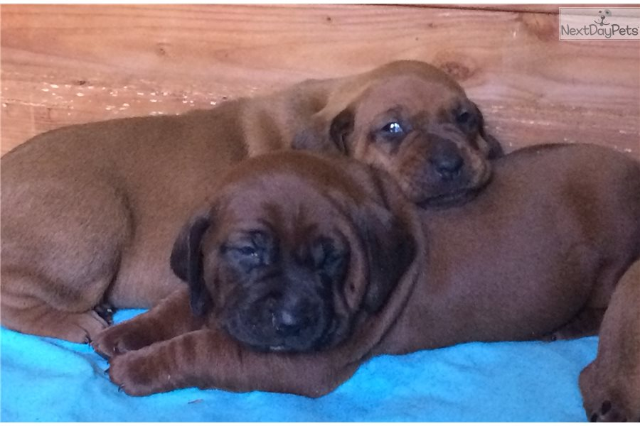 Red Redbone Coonhound Puppy For Sale Near Ventura County
