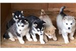 AKC Alaskan Malamute Puppy | Puppy at 7 weeks of age for sale