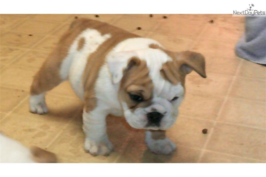 Ginger English Bulldog Puppy For Sale Near Rochester Minnesota