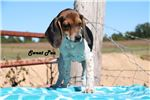 Picture of Cute Beagle Puppy Needs New Home