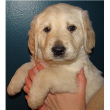 View full profile for Loving Labradoodles