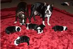 Picture of Adorable Boston pups for sale