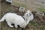 Picture of Pure-blood guard dog raised with sheep flock.